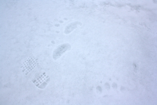 Bear tracks at our field site.